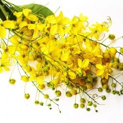Cassia poudre