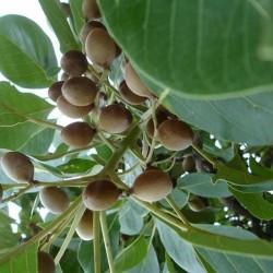 Baheda Poudre ( Terminalia belerica)