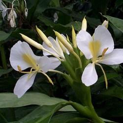 Kapour kachli (Hedychium spicatum)