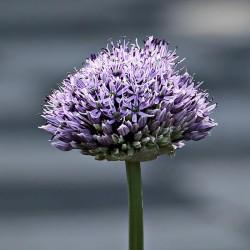 Oignon (Allium cepa)