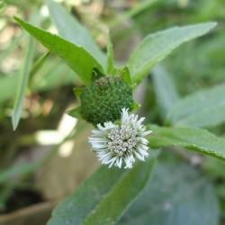 Bhringraj plante (Eclipta Alba)